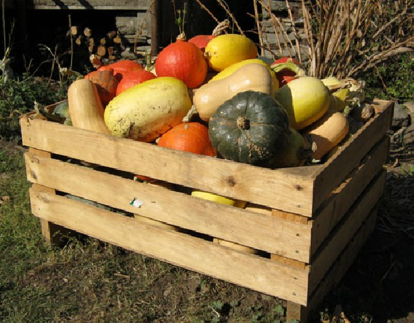 Courges diverses : butternut, potimarron, patidou, spaghetti, etc...